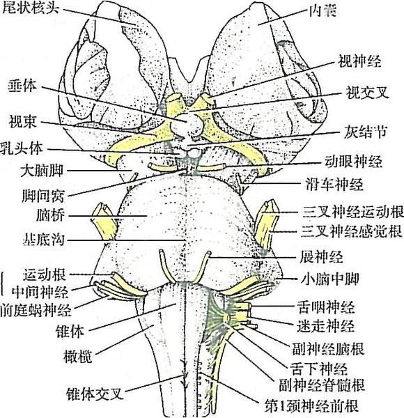 图1-1脑的正中矢状切面            图1-2 脑干外形(腹侧面