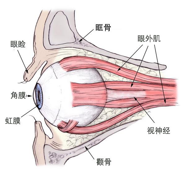 眼睛细胞结构示意图